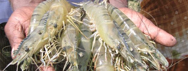 The marine products exports development authority mpeda rock lobster tails publicscrutiny Gallery